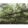 大青芒越南特产水果越南直发微商一件代发